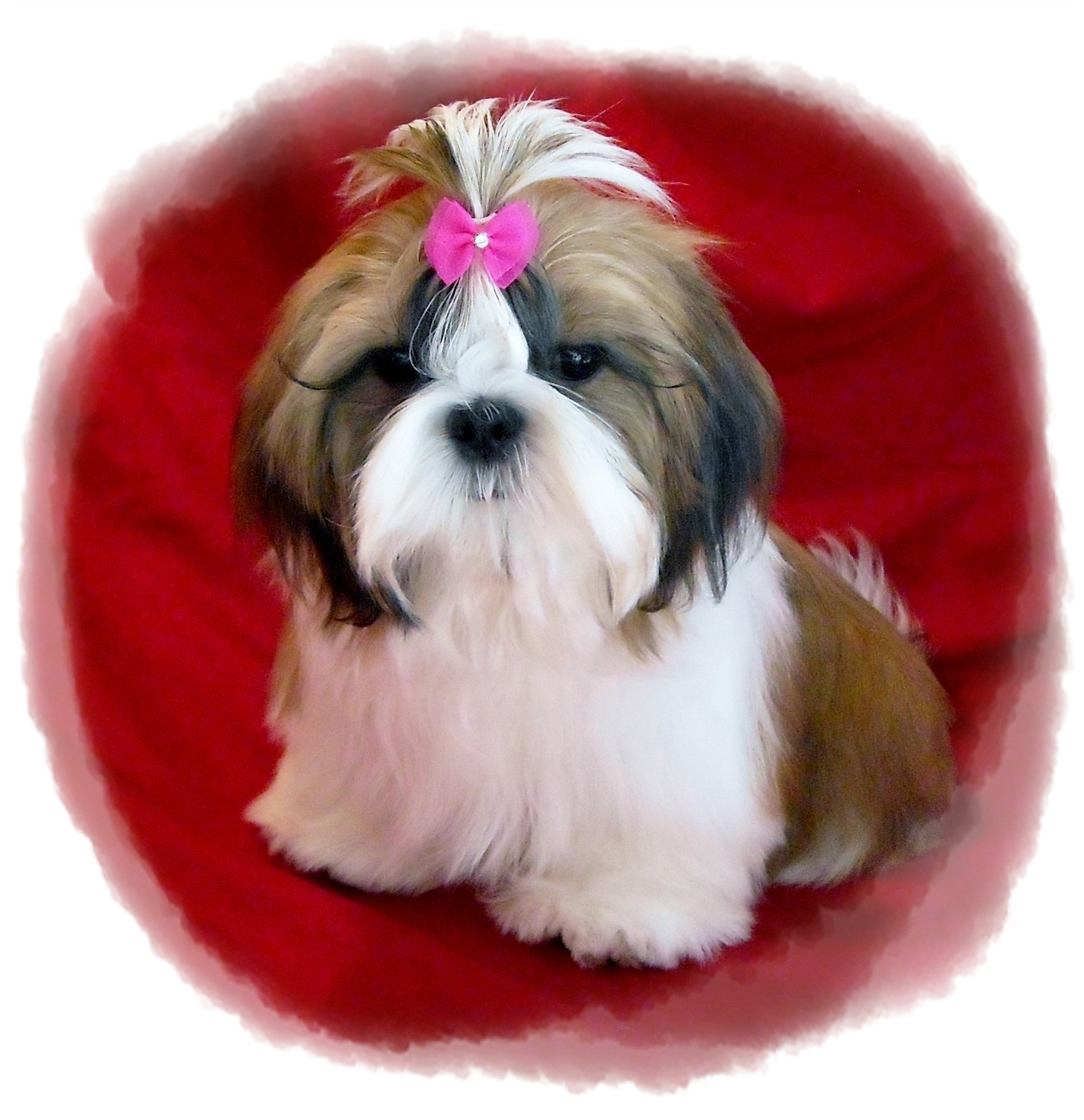 The compact Shih Tzu is the ideal canine companion Originally bred for royalty in China this little guy still considers himself a prince among dogs A